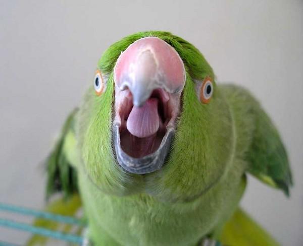скачать бесплатно говорящего попугая - фото 10