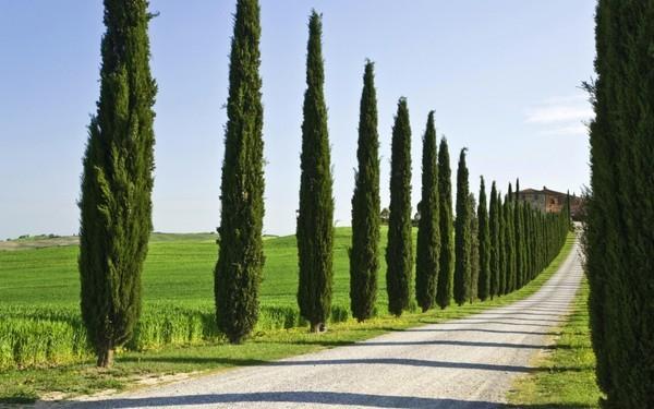 Кипарис фото дерево