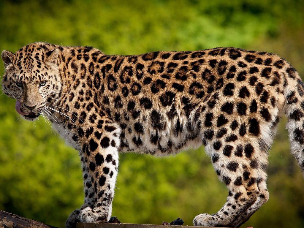 http://www.pavelin.ru/images/stories/leopard/leo_007.jpg