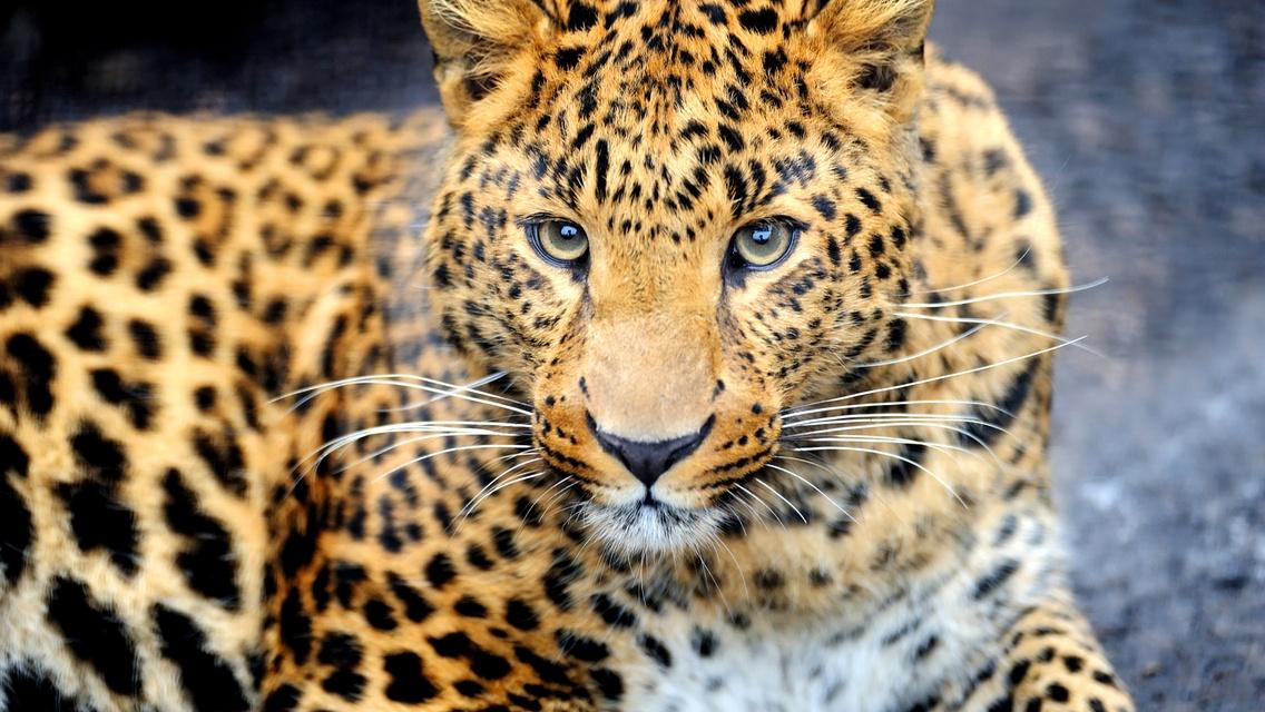 картинка леопарда черного