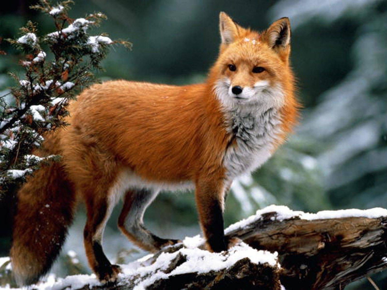 Фотки лис и волк 7 фотография