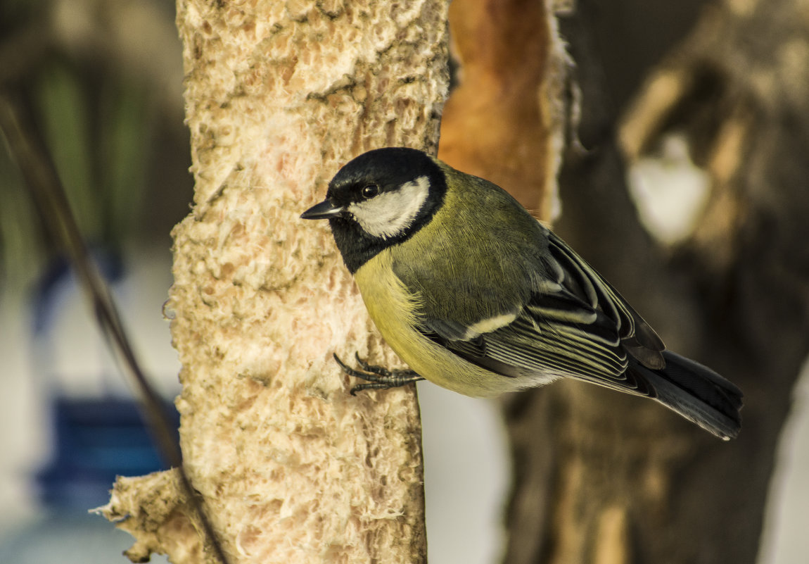 просто фото и картинки птицы синицы это когда нужно