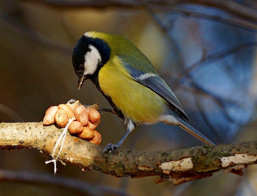 фото и картинки птицы синицы это отличный