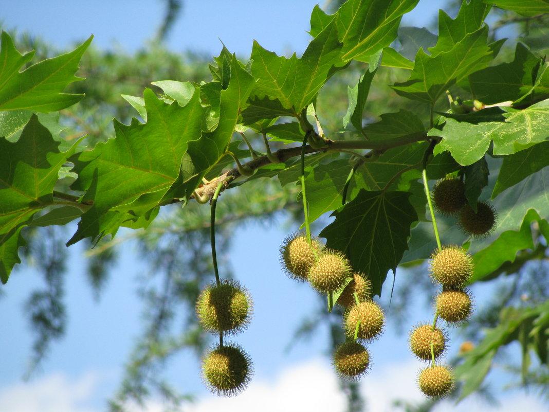 Платан дерево фото полезные свойства