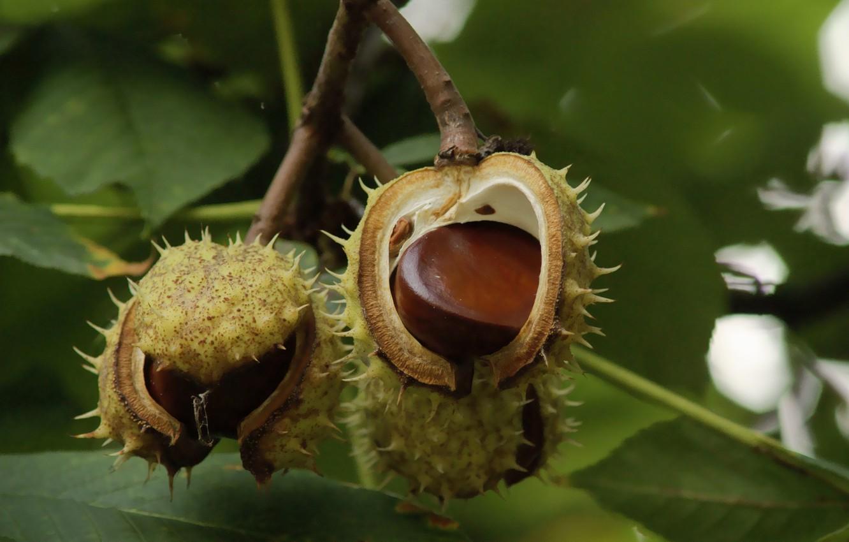 Картинки дерево каштан с плодами